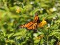 Monarchfalter    Aus der Kategorie Tiere auf Madeira