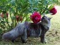 Maine Coon Katze mit Blumen