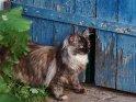 Maine Coon Katze vor einem blauen Tor
