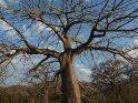 Baobab oder Affenbrotbaum