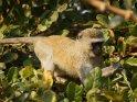 Meerkatze im Baum