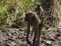 Junger Pavian reitet auf seiner Mutter
