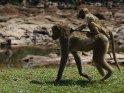 Kleiner Affe reitet auf dem Rücken seiner Mutter