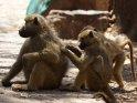 Paviane beim Lausen