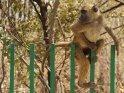 Pavian klettert über einen Zaun