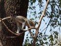 Dieses Motiv finden Sie seit dem 25. Februar 2015 in der Kategorie Affenfotos in Botswana.