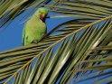Halsbandsittich auf einer Palme