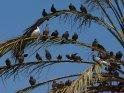 Tauben auf einer Palme