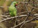 Halsbandsittich (Papagei)