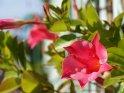 Dieses Motiv wurde am 27. September 2015 in die Kategorie Blumen & Blüten auf Gran Canaria eingefügt.
