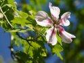 Dieses Kartenmotiv ist seit dem 30. August 2015 in der Kategorie Blumen & Blüten auf Gran Canaria.
