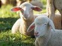 Dieses Motiv ist am 13.07.2018 neu in die Kategorie Lämmer und Schafe aufgenommen worden.