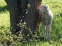 Lamm steht neben einem Baum