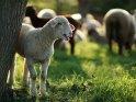 Lamm mit Schafen im Hintergrund