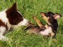 Australian Shepherd mit einem Chihuahua-Dackel-Mischling