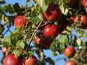 Saftig rote Äpfel an einem Apfelbaum