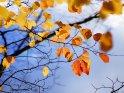 Herbstliche Buchenblätter vor blauem Himmel