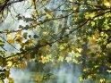 Aufziehender Nebel macht die durch Ahornblätter hindurchtretenden Lichtstrahlen sichtbar.