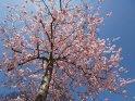 Dieses Kartenmotiv ist seit dem 29. April 2015 in der Kategorie Kirschblüten.