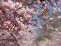 Dieses Motiv finden Sie seit dem 27. April 2015 in der Kategorie Kirschblüten.