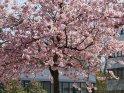 Japanische Kirsche auf dem Campus der Göttinger Uni