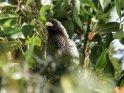 Binden-Lärmvogel    Aus der Kategorie Tiere außerhalb der Nationalsparks