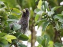 Binden-Lärmvogel