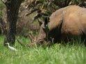 Nashorn    Aus der Kategorie Nashörner im Ziwa Rhino Sanctuary
