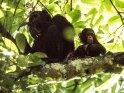 Schimpansin mit ihrem Kind