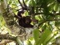 Babyschimpanse schaut von seinem Ast herunter