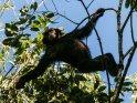 Männlicher Schimpanse