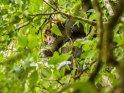 Schimpanse in den Baumwipfeln des Regenwaldes