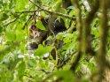 Schimpanse sitzt oben in der Baumkrone und schaut zum Betrachter herunter