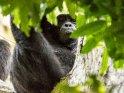 Auf einem Baum sitzender Schimpanse schaut zum Betrachter herunter.