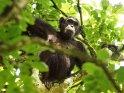 Schimpansin