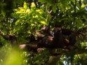 Schimpanse liegt auf einem Baum und isst genüsslich einige Blätter.