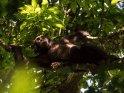 Ein Schimpanse hat es sich in einer Astgabel gemütlich gemacht