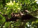 Liegender Schimpanse reißt das Maul auf