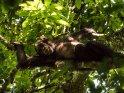 Schimpanse liegt in einer Astgabel und zeigt seine Zähne