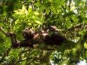 Gemütlich in einer Astgabel liegender Schimpanse