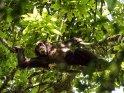 Schimpanse liegt auf einem Baum