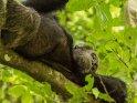 Schimpanse hat es sich liegend auf einem Ast bequem gemacht