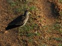 Senegalkiebitz    Dieses Motiv findet sich seit dem 28. Februar 2016 in der Kategorie Murchison-Falls Nationalpark.