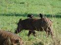 Warzenschwein mit drei Vögeln auf dem Rücken    Dieses Motiv befindet sich seit dem 28. Februar 2016 in der Kategorie Murchison-Falls Nationalpark.