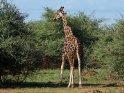 Giraffe    Dieses Motiv ist am 12.08.2017 neu in die Kategorie Murchison-Falls Nationalpark aufgenommen worden.