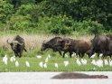 Büffel mit zahlreichen Reihern und einem Flusspferd im Vordergrund    Dieses Kartenmotiv ist seit dem 30. Januar 2018 in der Kategorie Murchison-Falls Nationalpark.