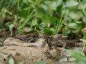 Krokodil-Baby auf dem Kopf seiner Mutter