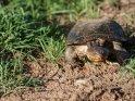 Schildkröte    Dieses Motiv ist am 16.08.2017 neu in die Kategorie Murchison-Falls Nationalpark aufgenommen worden.