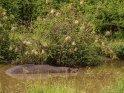 Flusspferd in einem kleinen Tümpel unter einem Busch mit zahlreichen Webervögeln