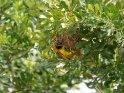 Webervogel    Dieses Motiv findet sich seit dem 30. März 2016 in der Kategorie Queen Elizabeth Nationalpark.